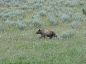 Grizzly bear seen in the only way you want to see a grizzly, from the safety of the car.