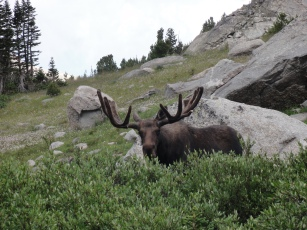 Well hello there Mr. Moose.