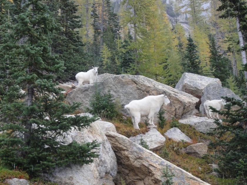 So many mountain goats!