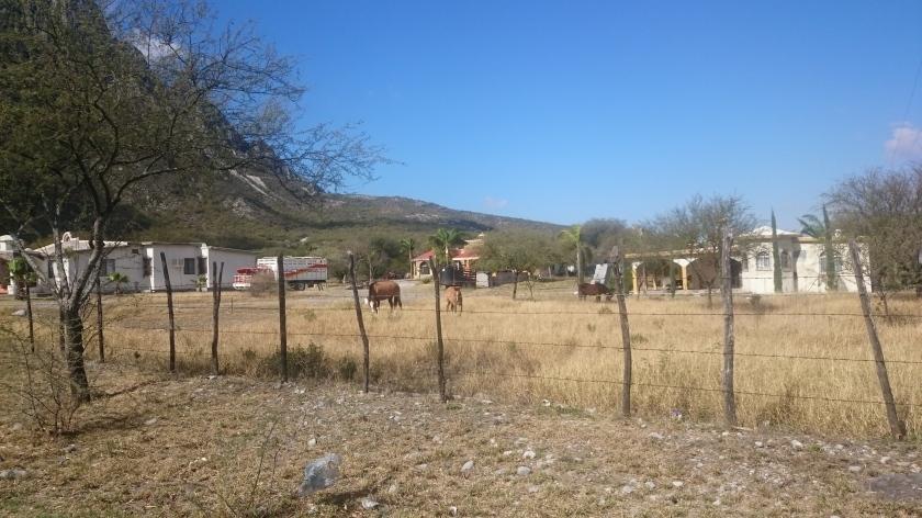 Local Horses.