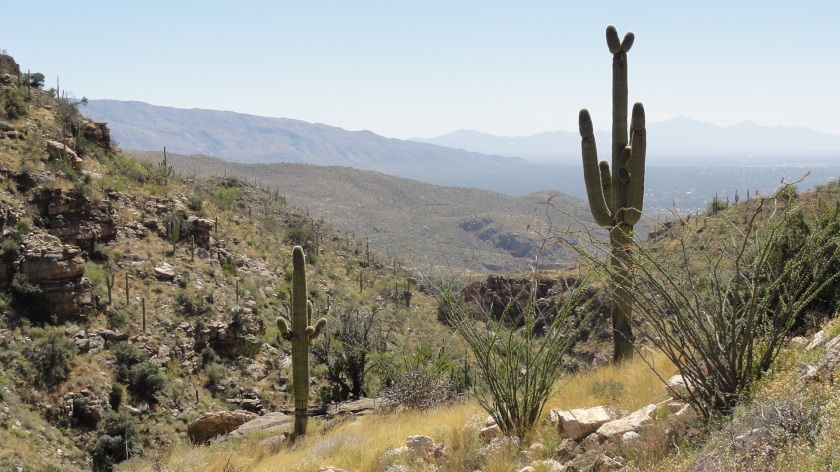 Saguaro cacti at the lower elevations of Mt. Lemmon.