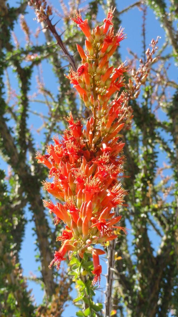 Ocotillo flower.