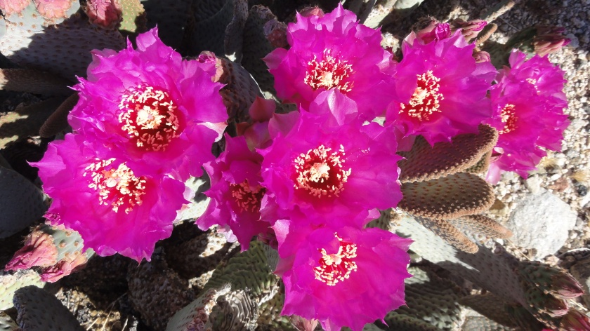 A flowering Beavertail Pricklypear cactus.
